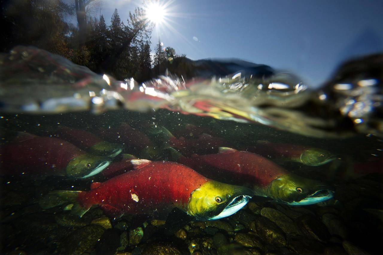 Spawning sockeye salmon, a species of Pacific salmon, are seen making their way up the Adams River in Roderick Haig-Brown Provincial Park near Chase, B.C., Tuesday, Oct. 14, 2014. THE CANADIAN PRESS/Jonathan Hayward